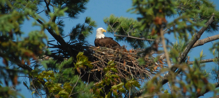 Bald Eagles Slowly Recovering in Vermont