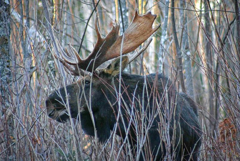 Vermont Moose Hunting Season Online Lottery