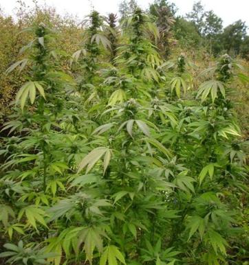 Police seize 12 Marijuana plants in Glover