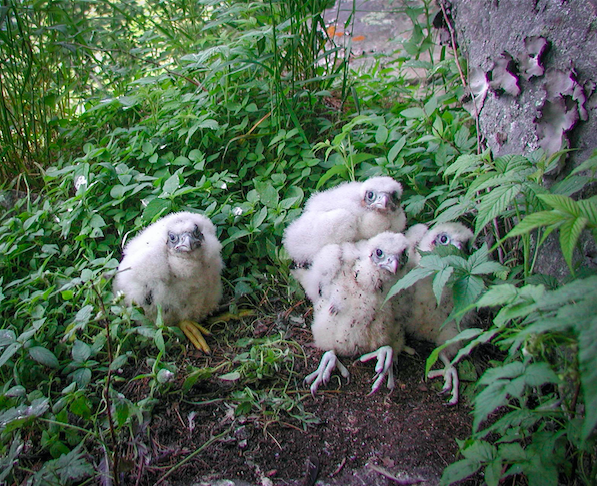 Cliff tops and overlooks closed to protect nesting peregrines