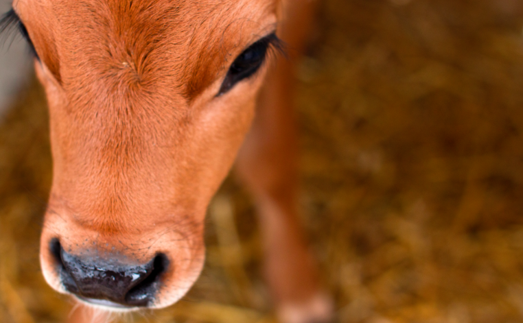 Driver hits and kills Jersey calf in Lowell, drives off